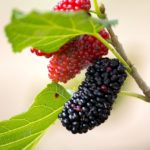 Mulberries all fruits in Hindi