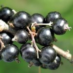 Blackcurrant hinid - All fruits name in HIndi